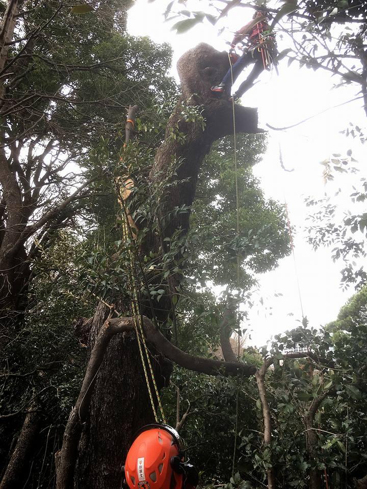 2017年10月7日ブログの更新です! シイの枯損木の完全伐採です。