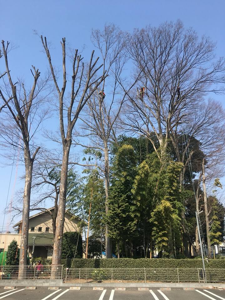 出張~in 埼玉県~ 樹高30Mの巨木です!