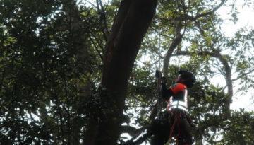 ☆あやめガーデン☆横浜市某神社にて風倒木処理で作業させていただきました!!